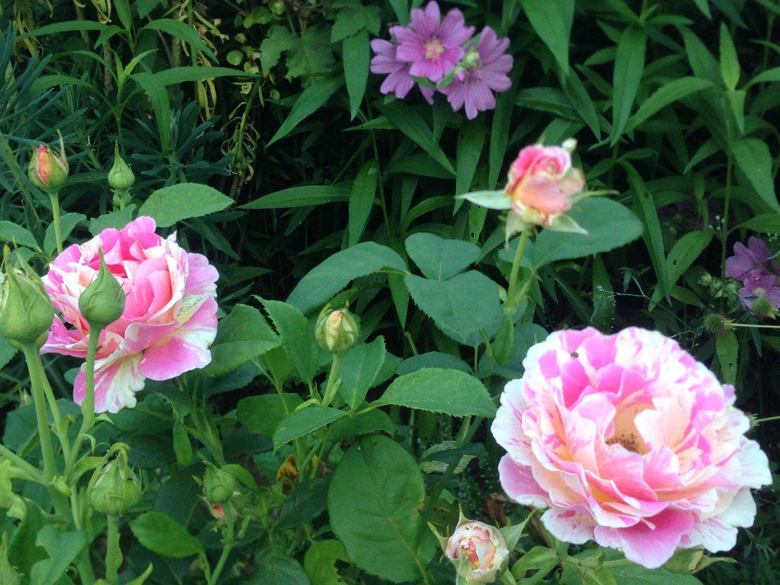 Rose 'Claude Monet' et lavatères