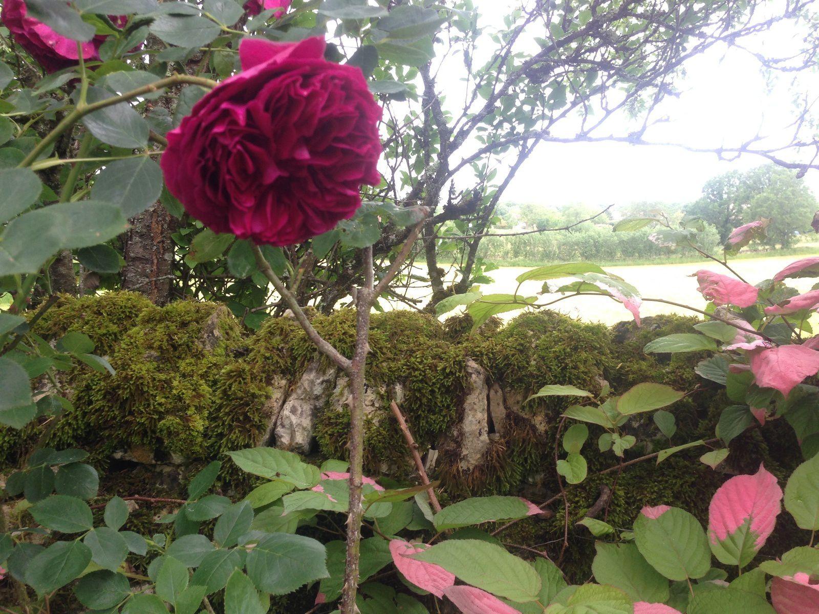 Actinidia kolomikta (aux côtés du rosier 'Falstaff') - Jardin de la Barrière