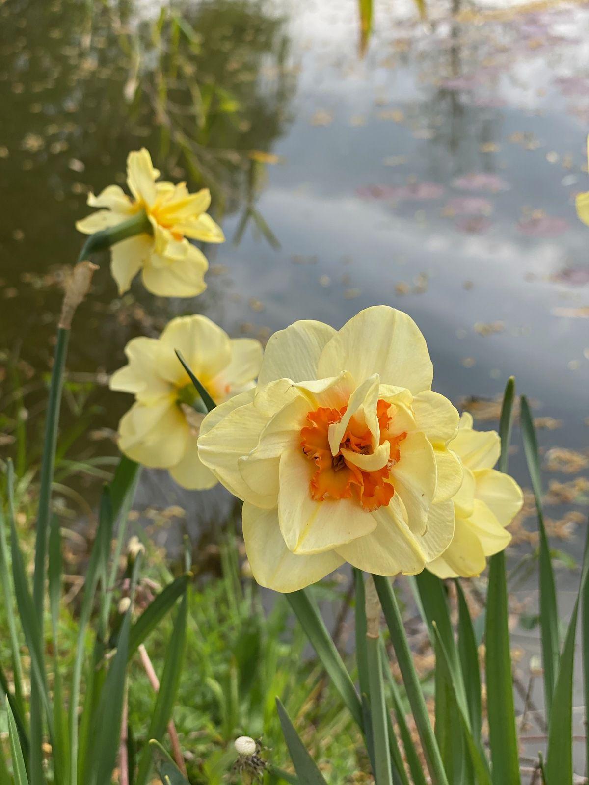 Narcisse double 'Tahiti'