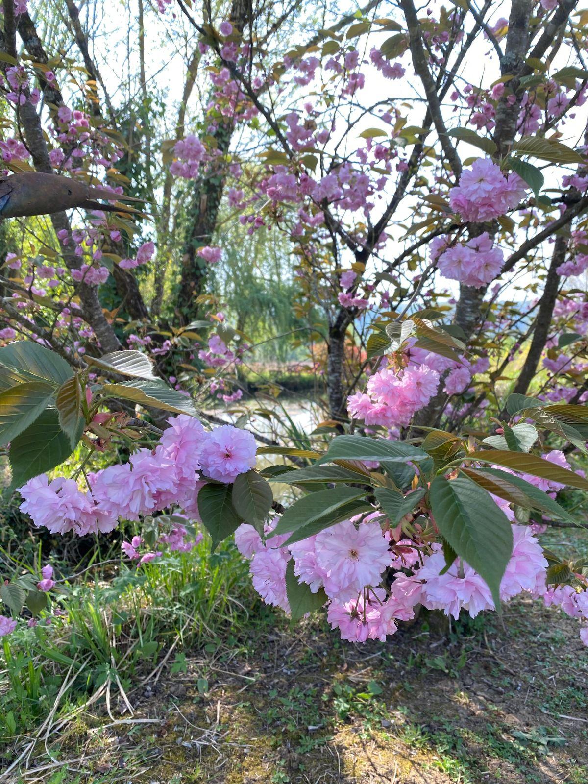 Prunus serrulata ' Kiku-Shidare-Sakura '