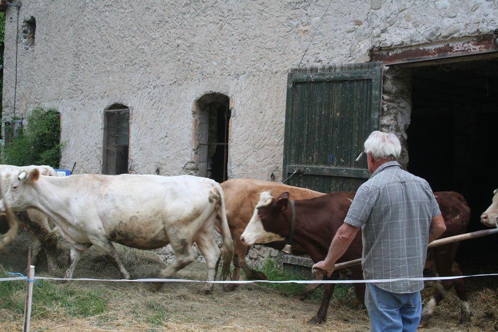 Les Vaches à la pâture