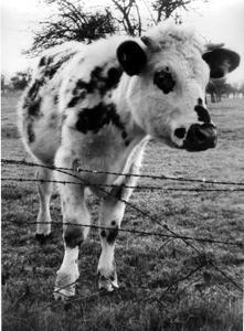 une vache excitée vous sorte du pré,