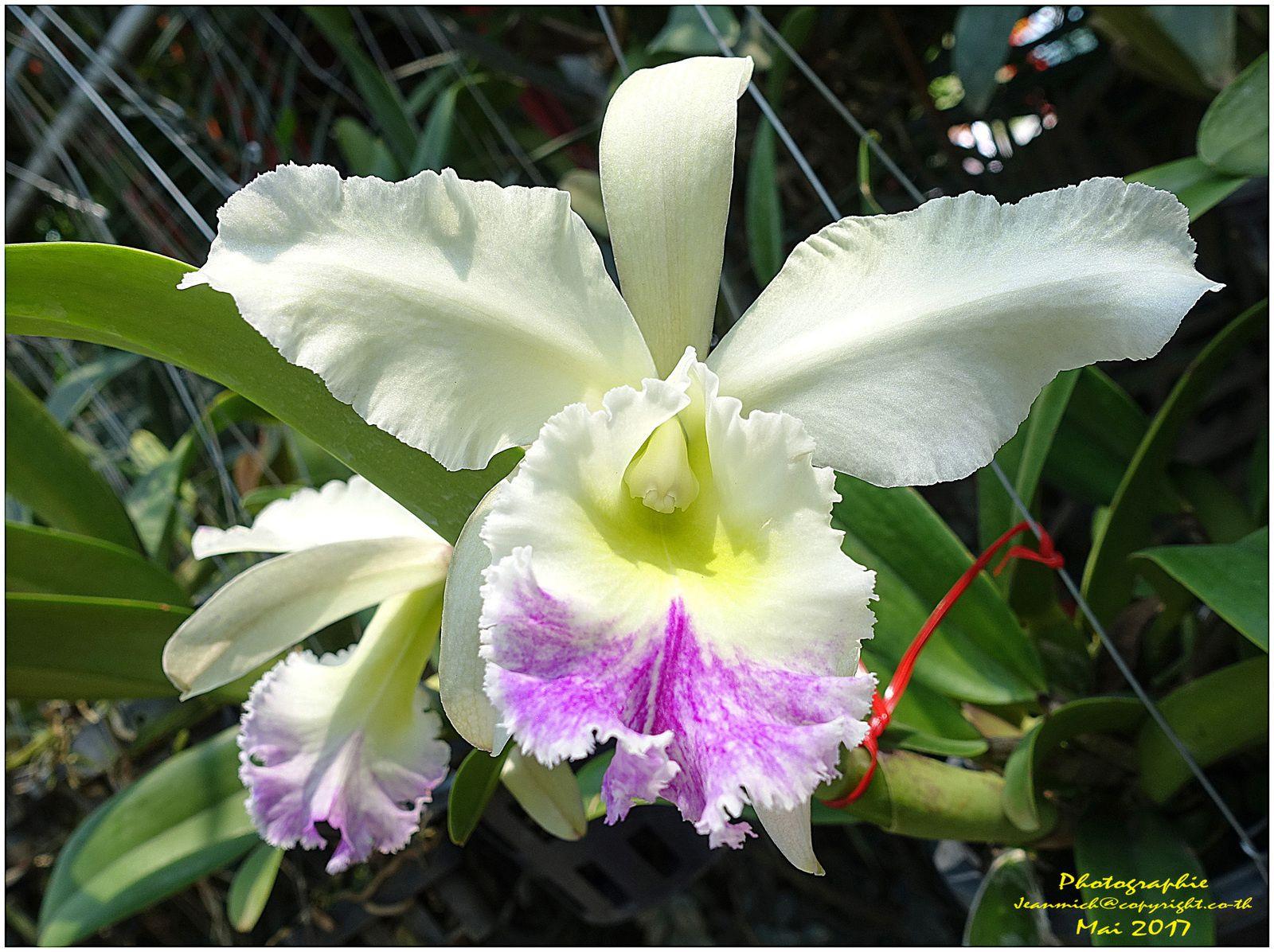 Les orchidées de Chiang Mai