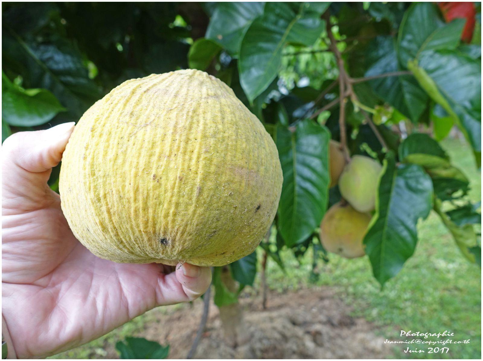 """Arbre et fruit """"le faux mangoustanier ou Santol"""""""