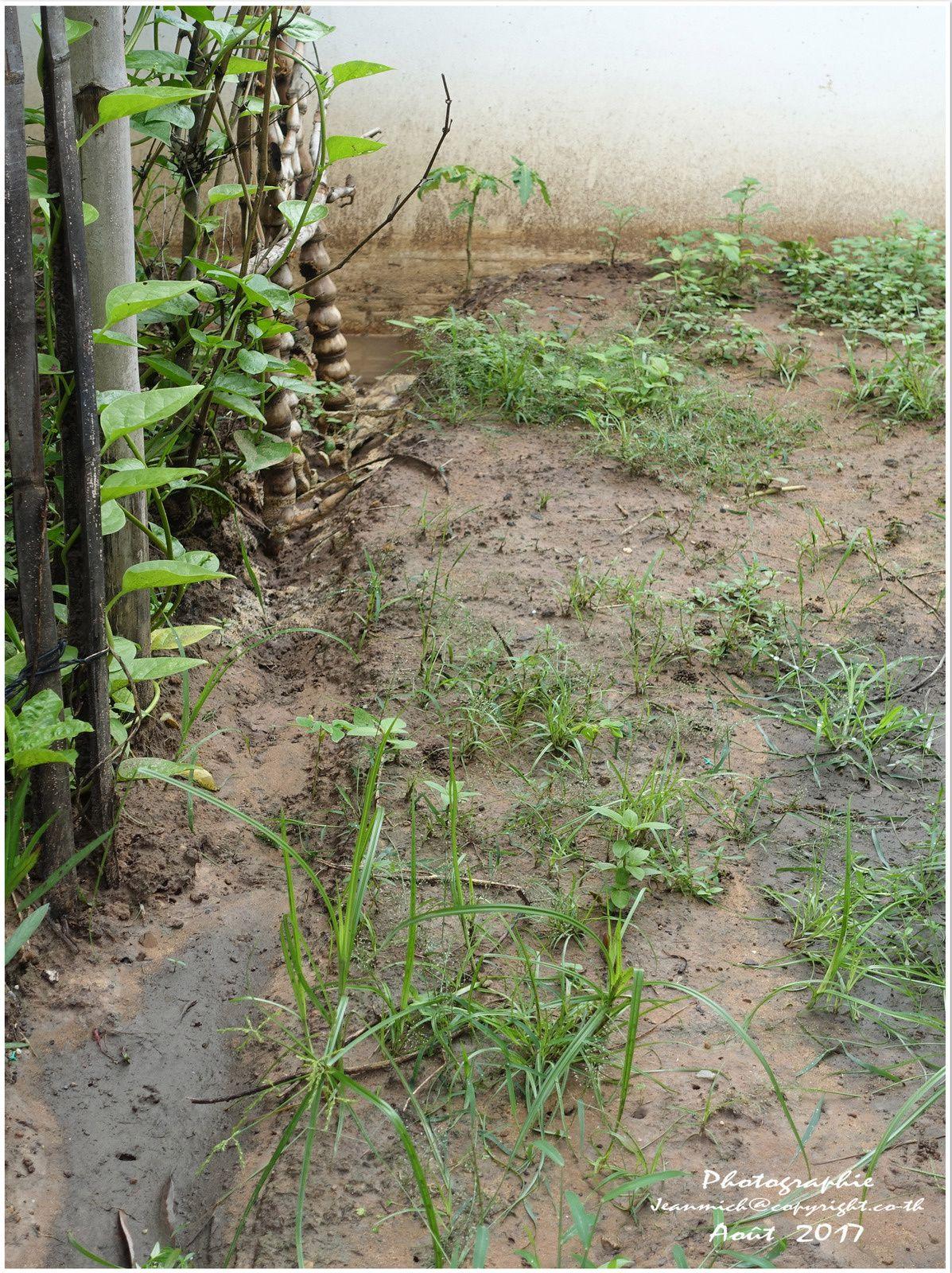 Les dégâts de la mousson au jardin (Thaïlande)