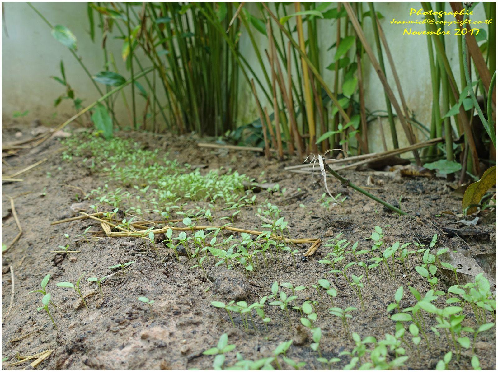 Le jardin potager en ce mois de novembre (Thaïlande)