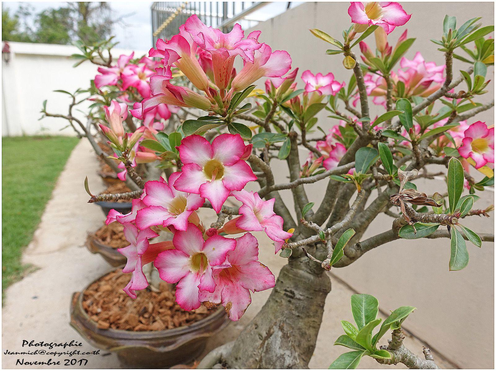 Les fleurs s'épanouissent sous le soleil d'Isaan (Thaïlande)