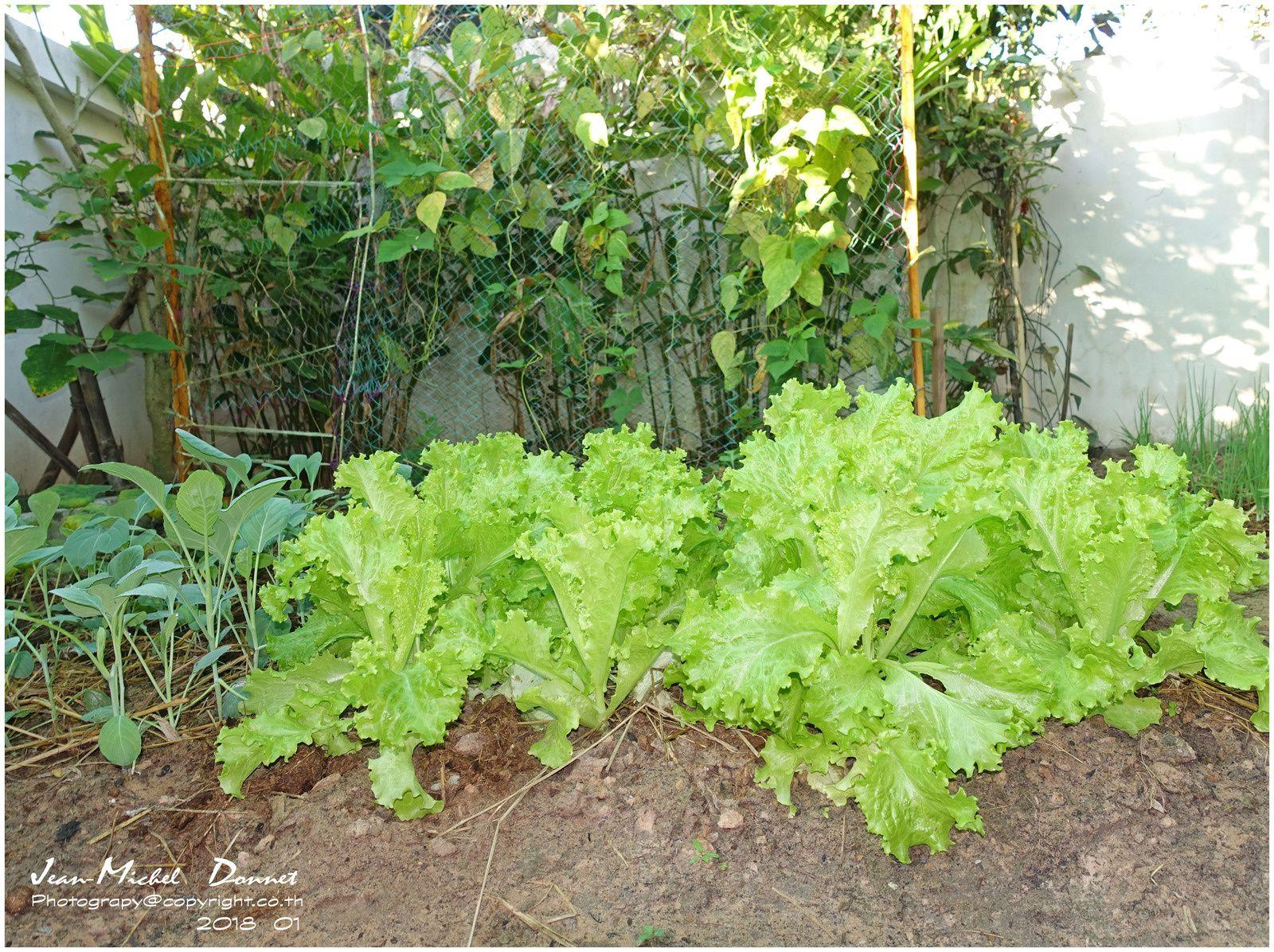 Un petit tour du jardin en ce mois de janvier... (Thaïlande, Isaan)