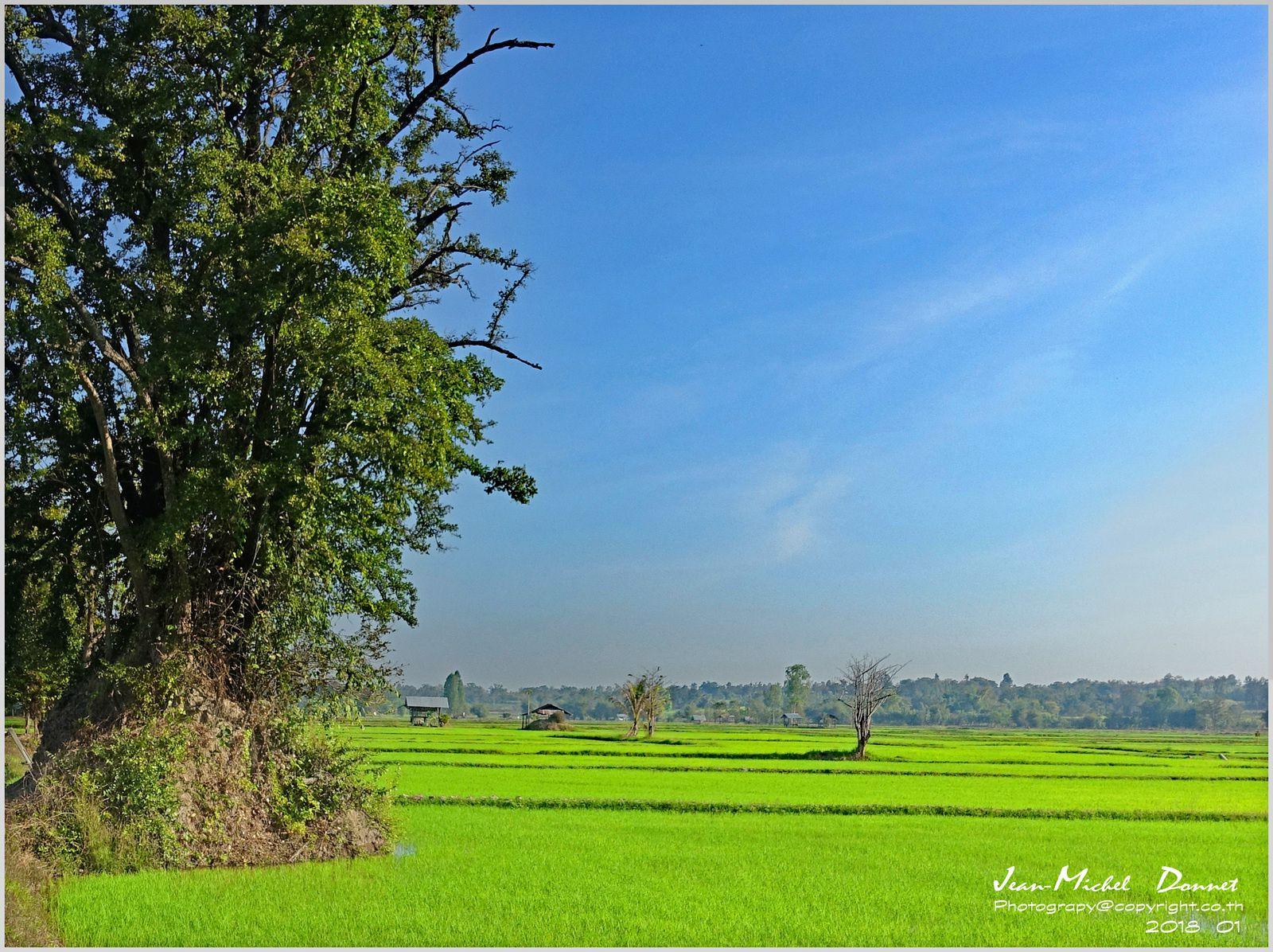 Dans la tranquillité des rizières (Thaïlande)