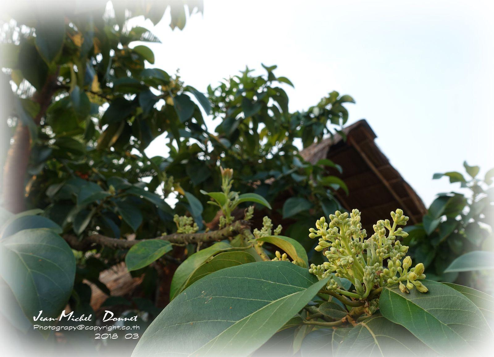 L'avocatier et ses fleurs (Thaïlande)