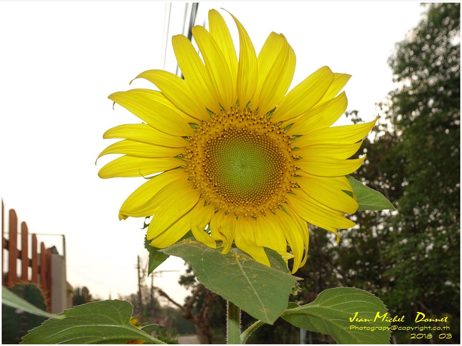 Le, les soleils dans leur splendeur... (Thaïlande)