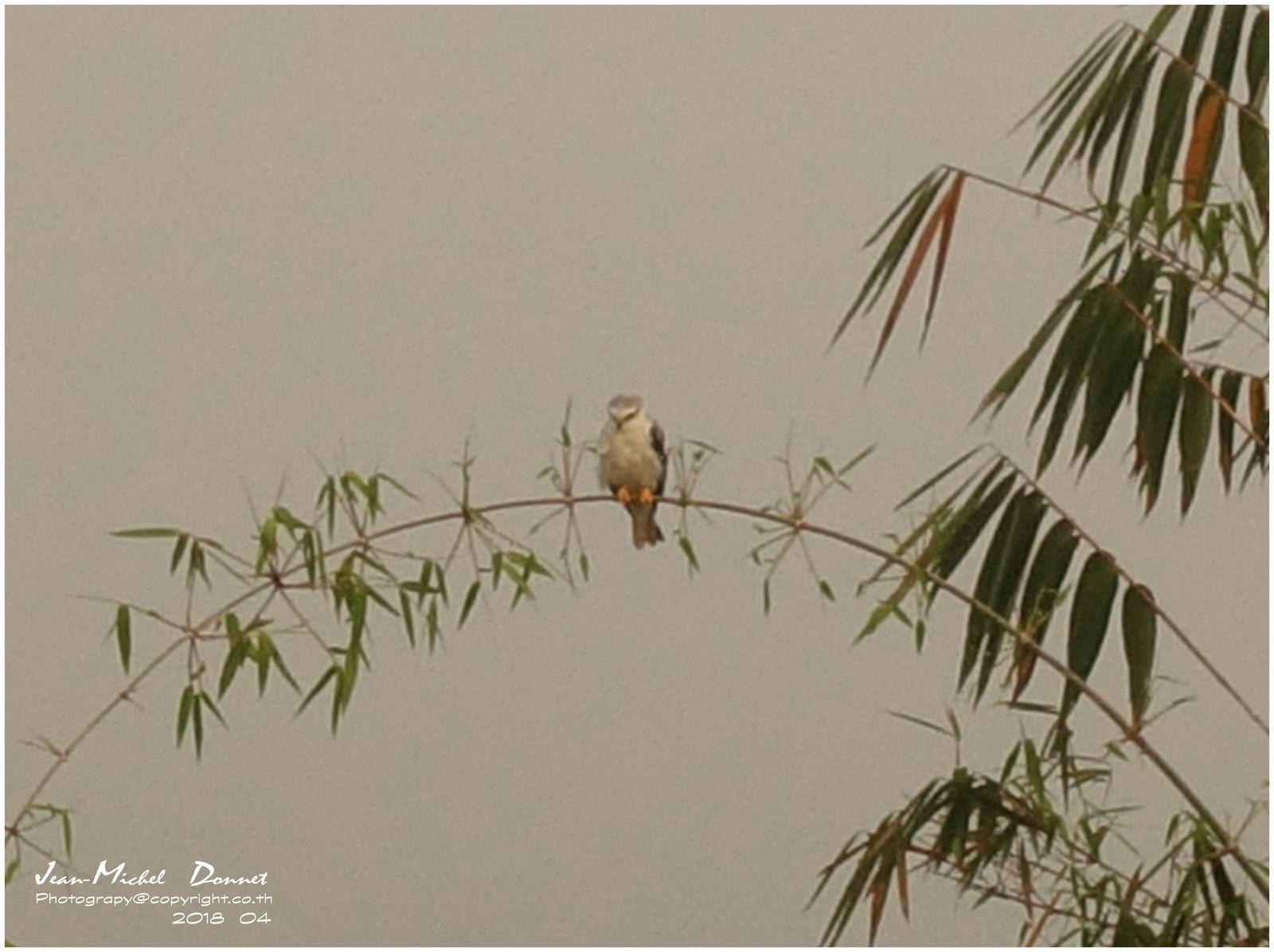 Un jeune rapace s'est perché sur un bambou.