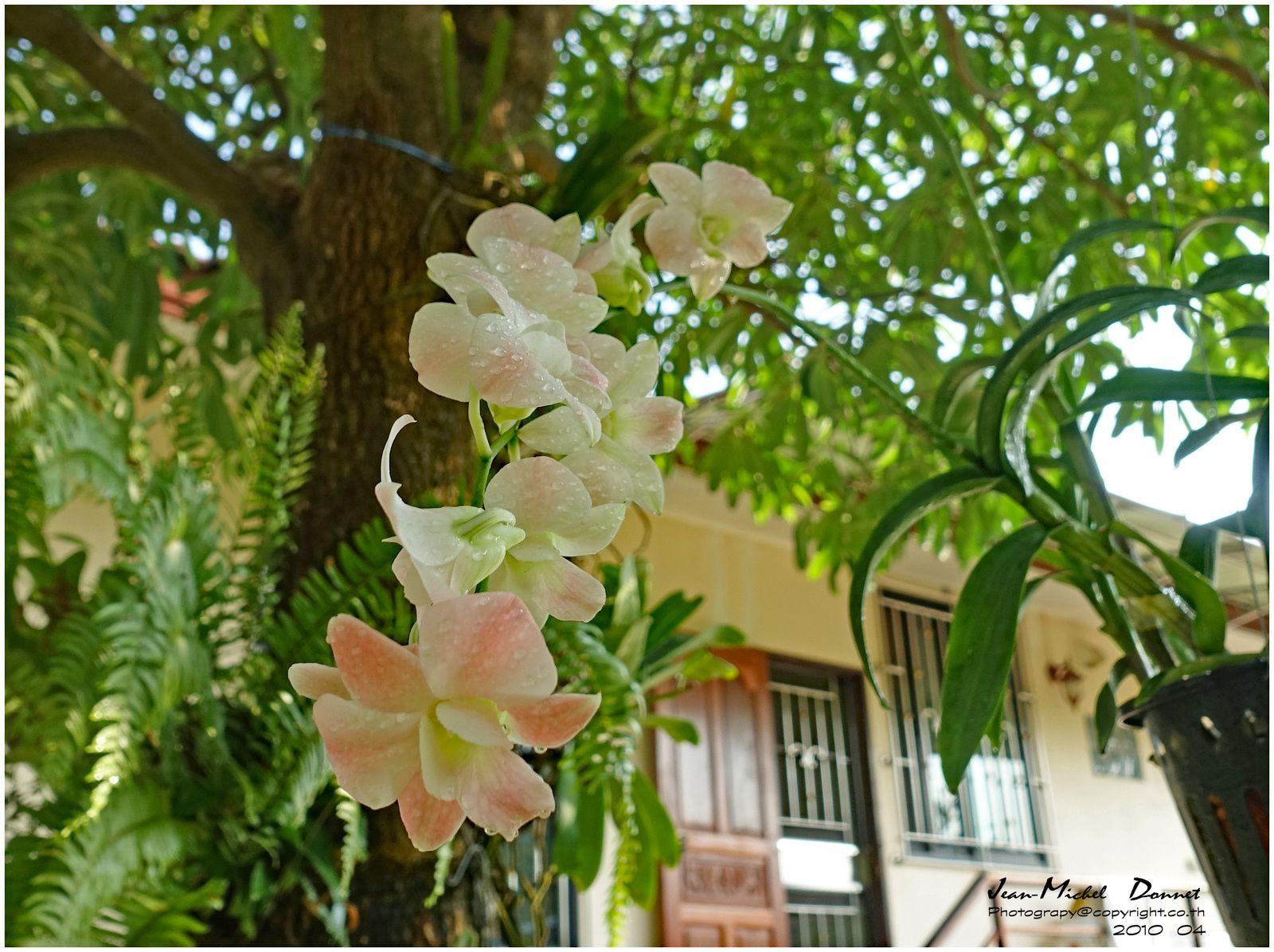 Floraison des orchidées du jardin (Thaïlande)