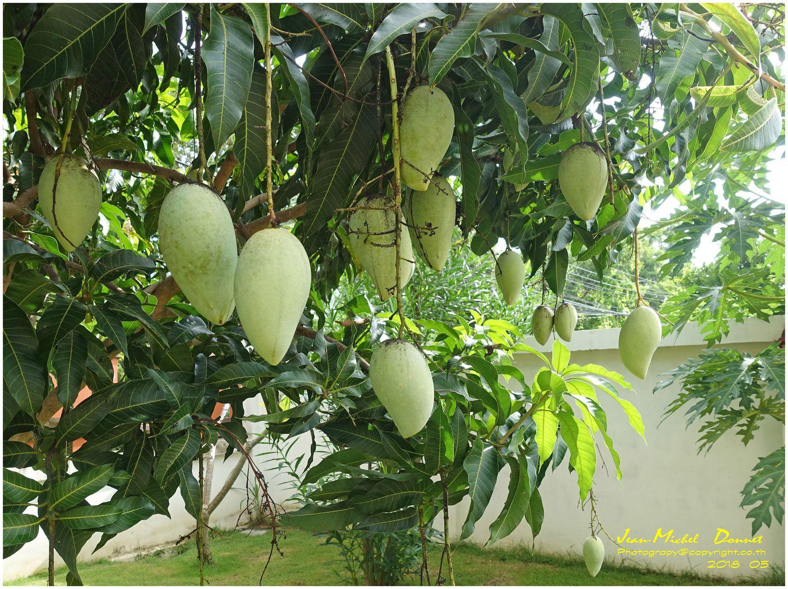 Les fruits et le jardin en cette fin mai (Thaïlande)