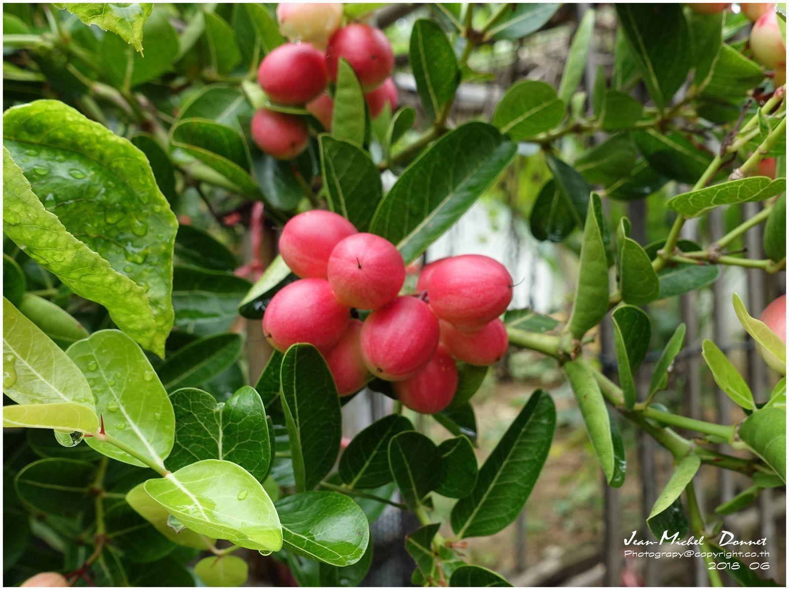 Un fruit et une plante aux multiples qualités : Le Carissa carandas.