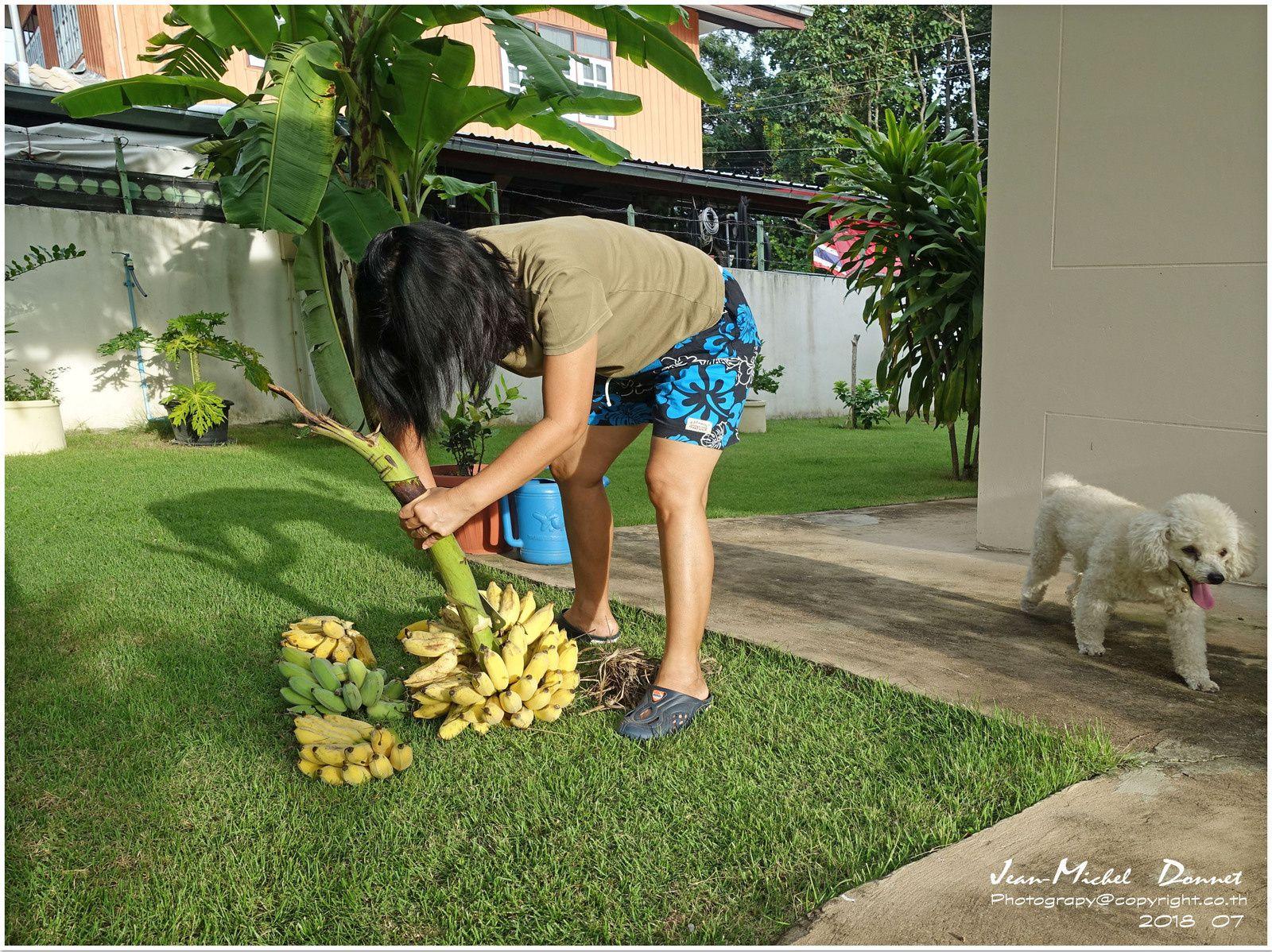 Les dernières récoltes du jardin (Thaïlande)