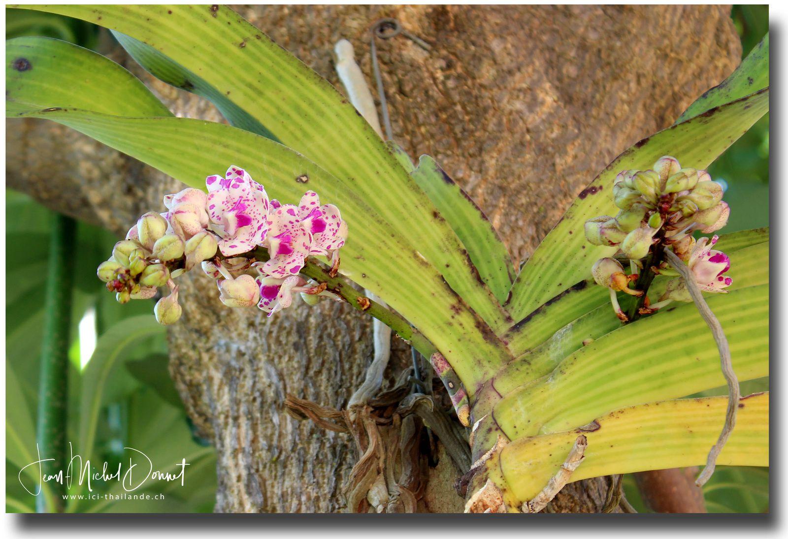 Les orchidées fleurissent (Thaïlande)