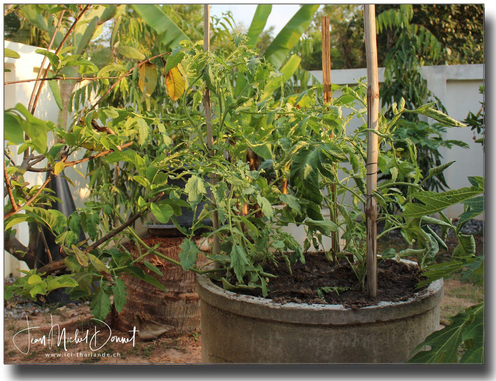 Le potager en ce mois de janvier (Thaïlande)