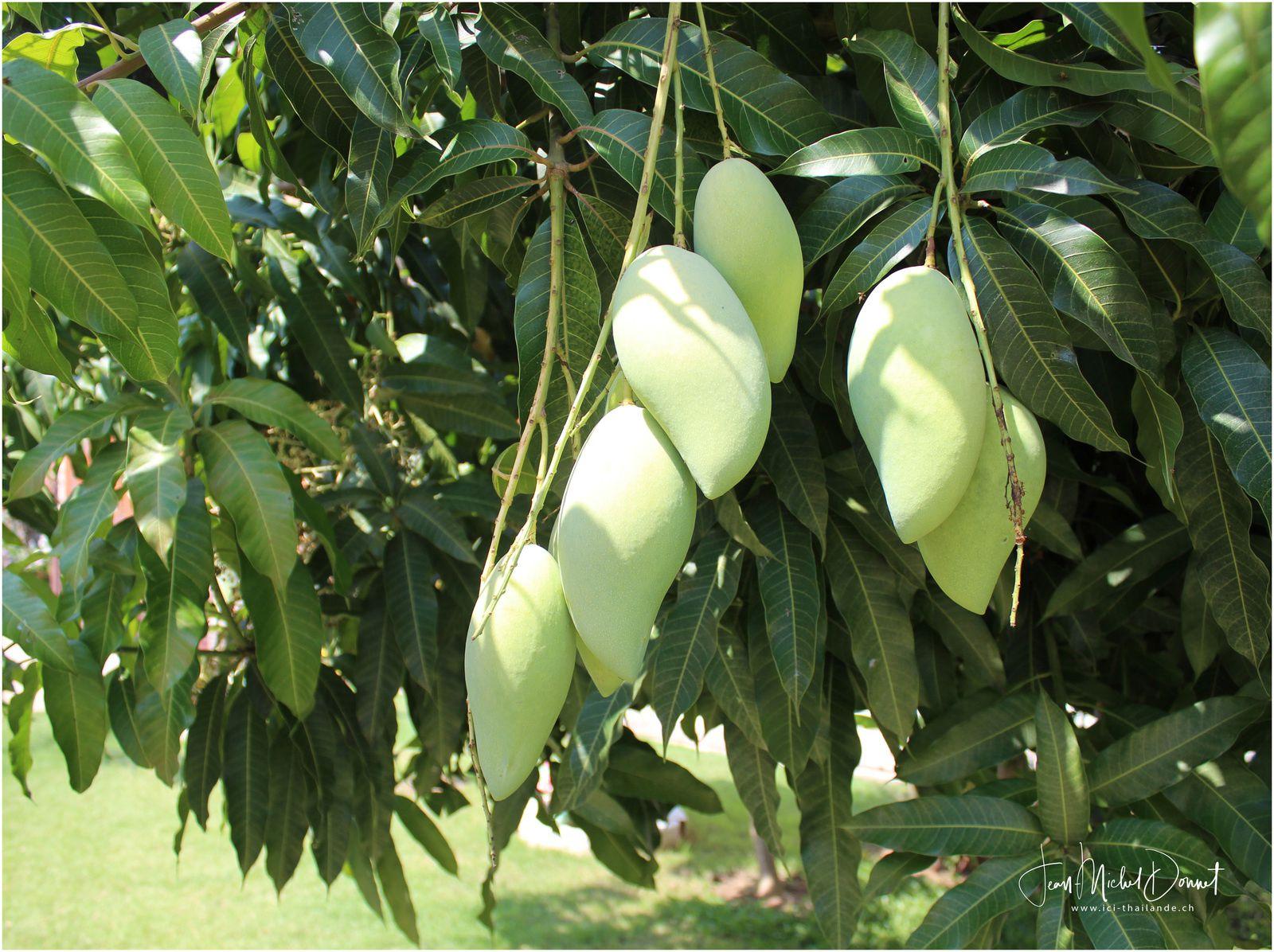 le manguier et ses fruits.... (Thaïlande)
