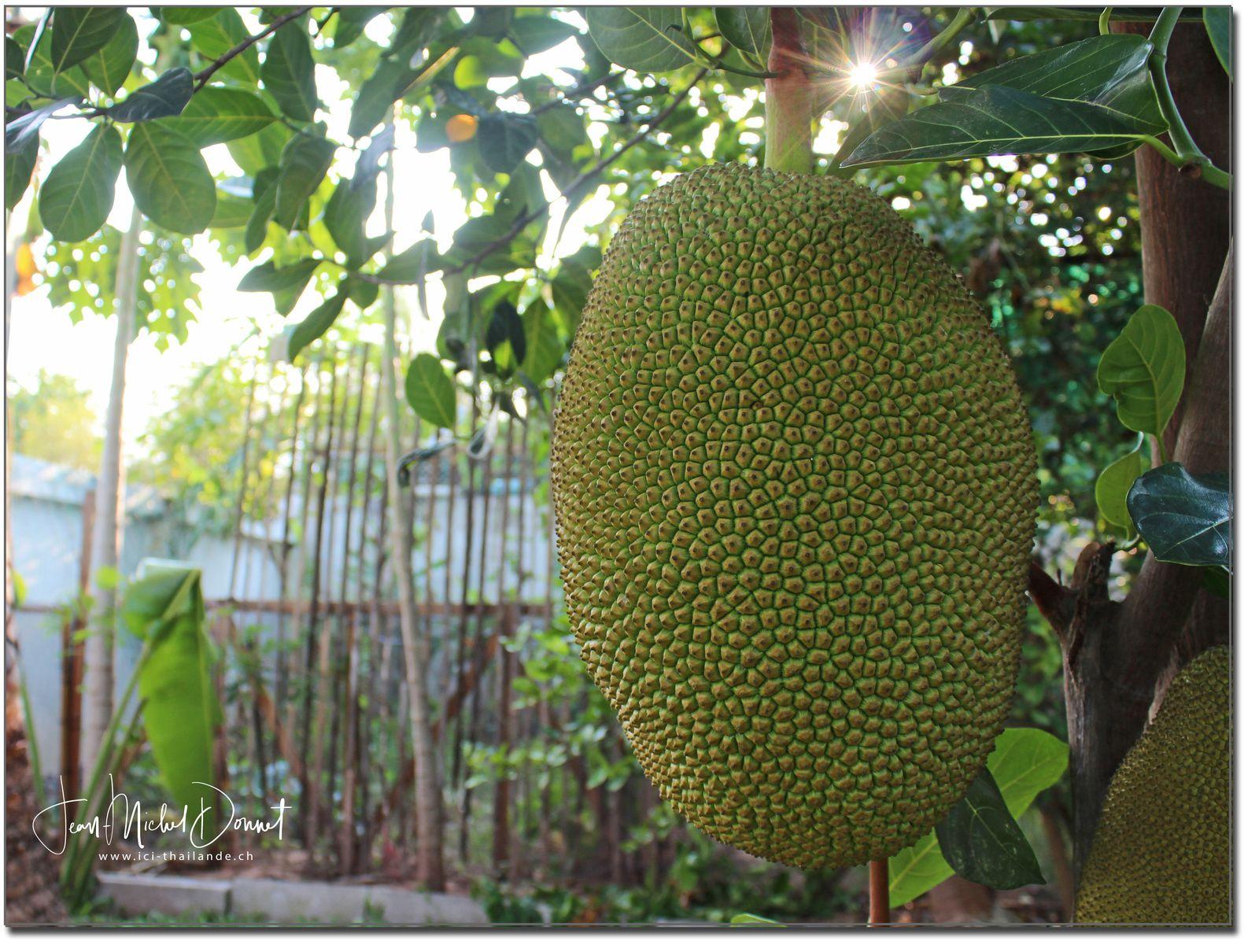 Les plus gros fruits du monde...  (le jacquier)