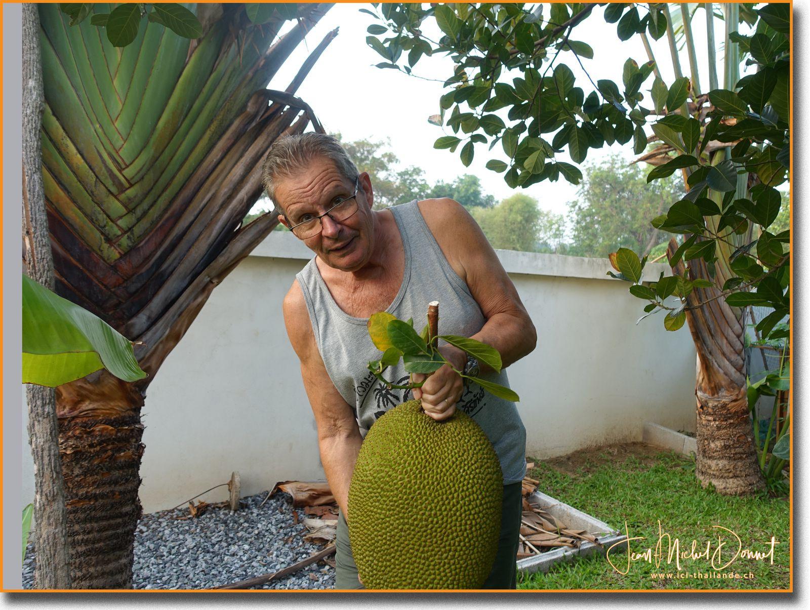 Le jacquier, son tout premier fruit.....