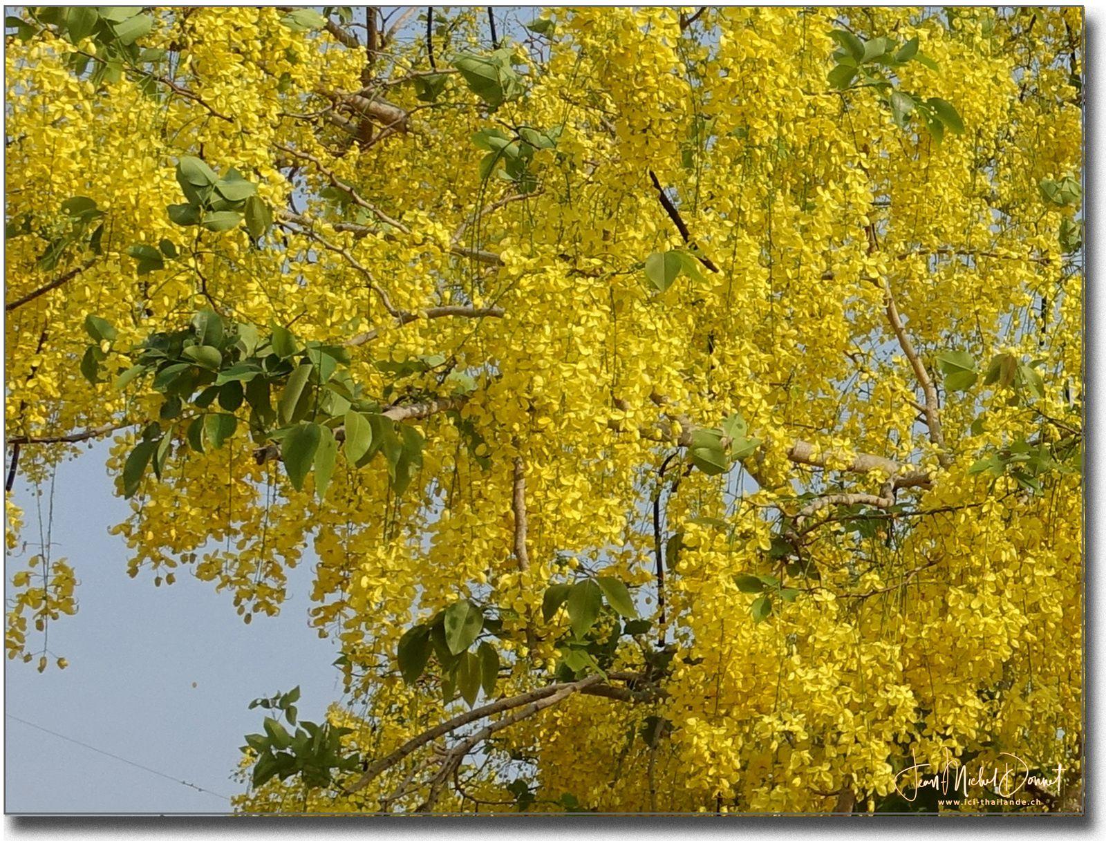 Le Cassia fistula ou douche d'or....