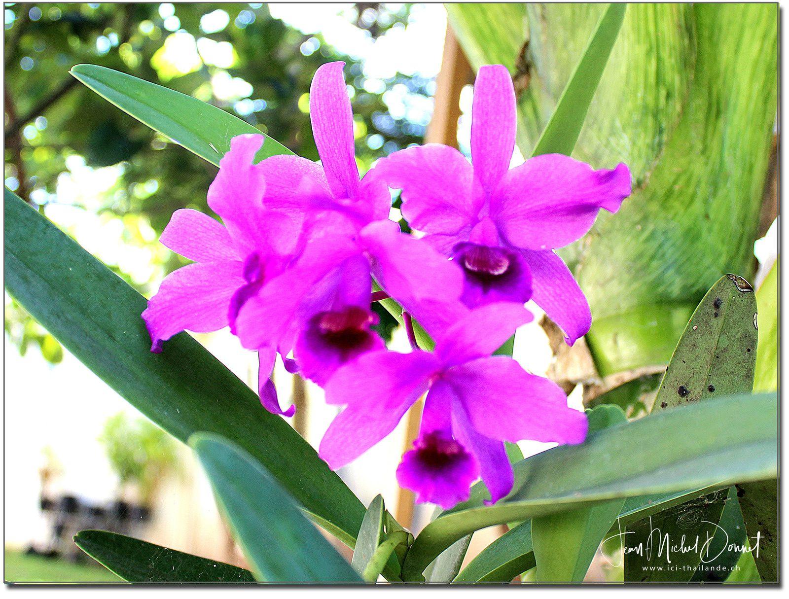 Les orchidées du jardin (Thaïlande)