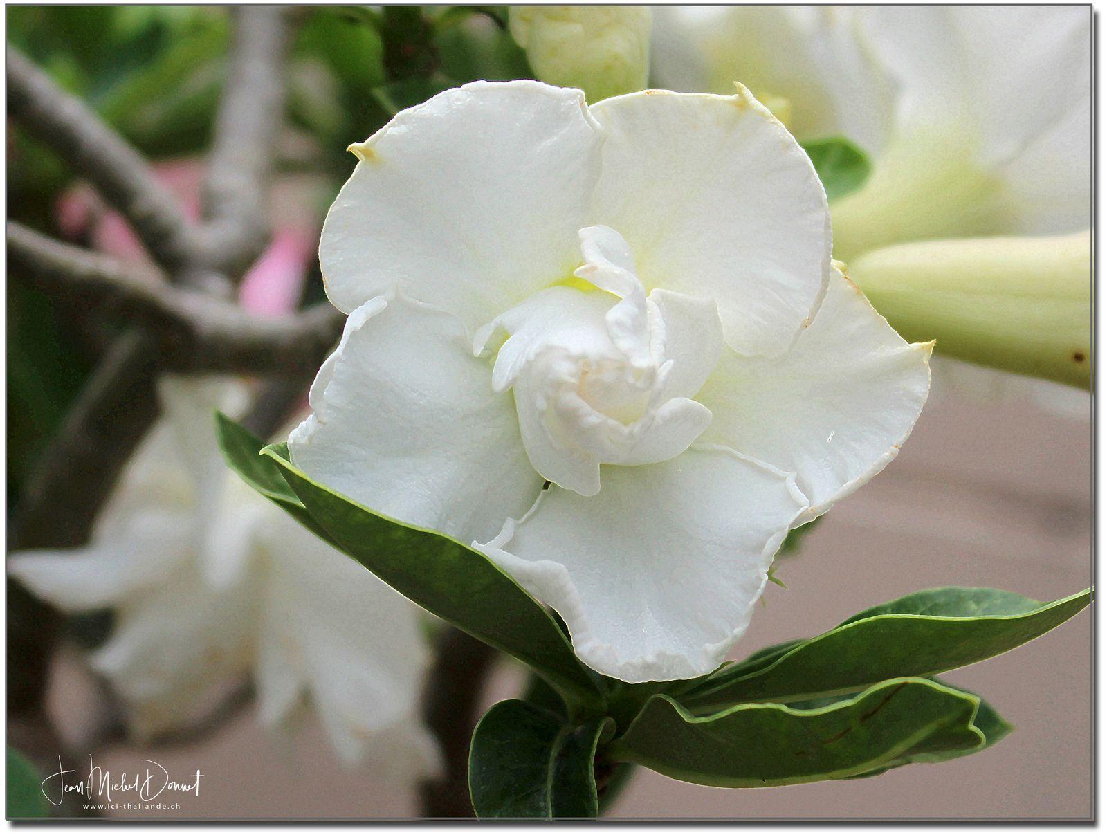 Parmi les fleurs de ce dimanche (Thaïlande)