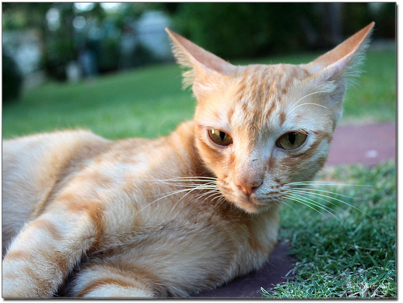 Le chat du voisin.... (Thaïlande)