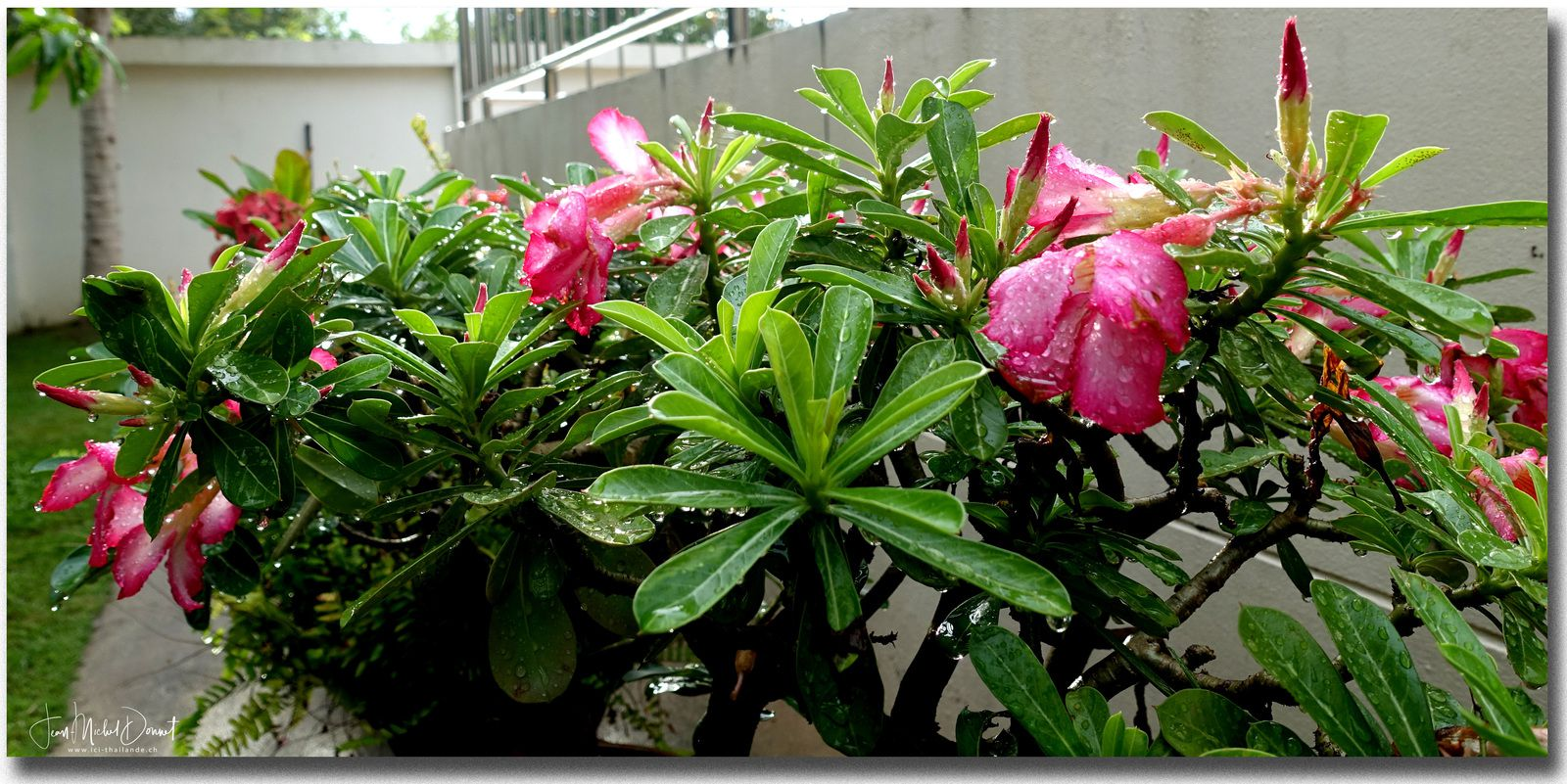 Rose du désert ou Adénium (Thaïlande)