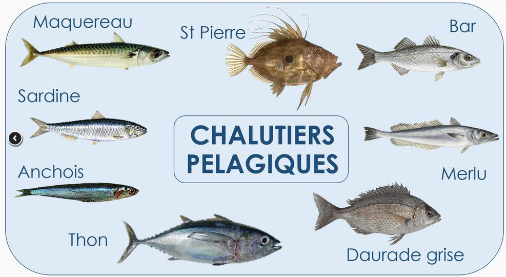 poissons victimes de chalutiers pélagiques