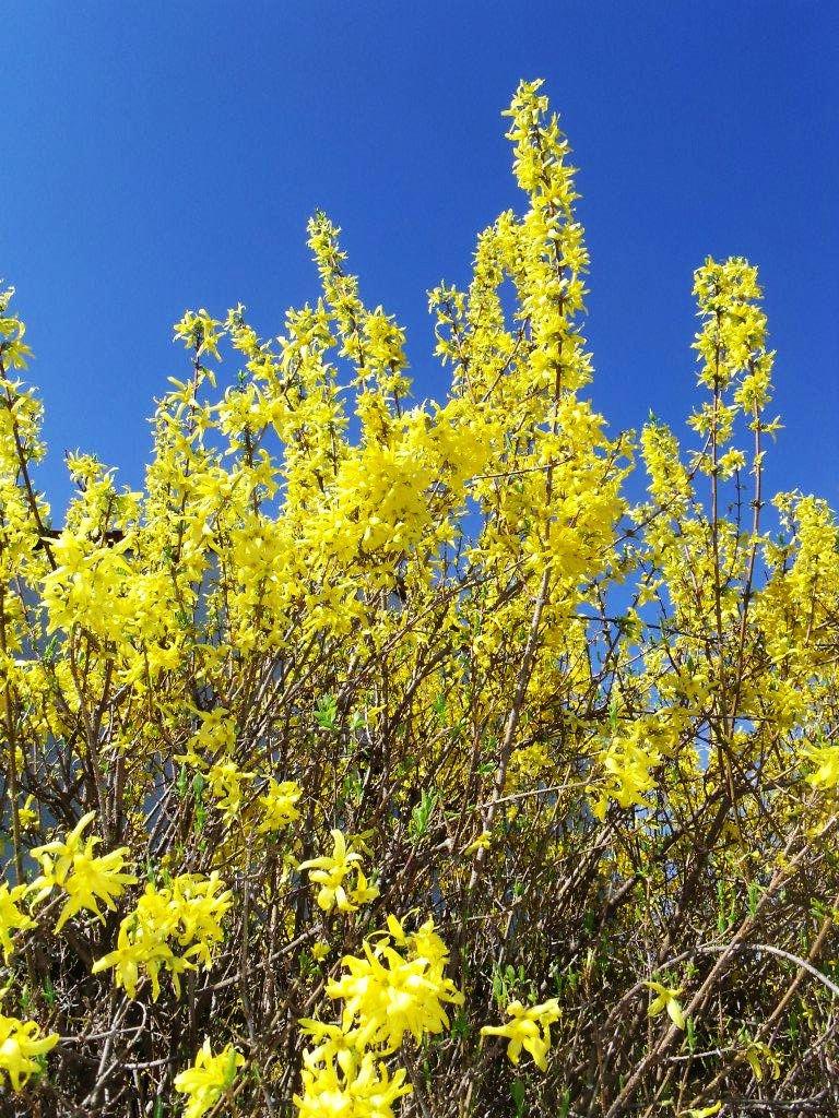 Quelle joie de voir les arbustes en fleurs !