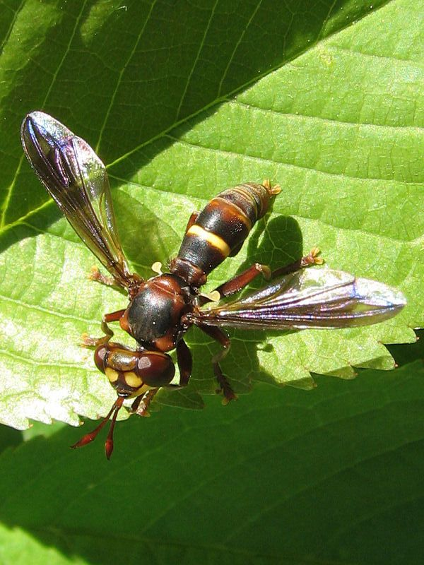 SOURCE PHOTO = http://www.diptera.info/