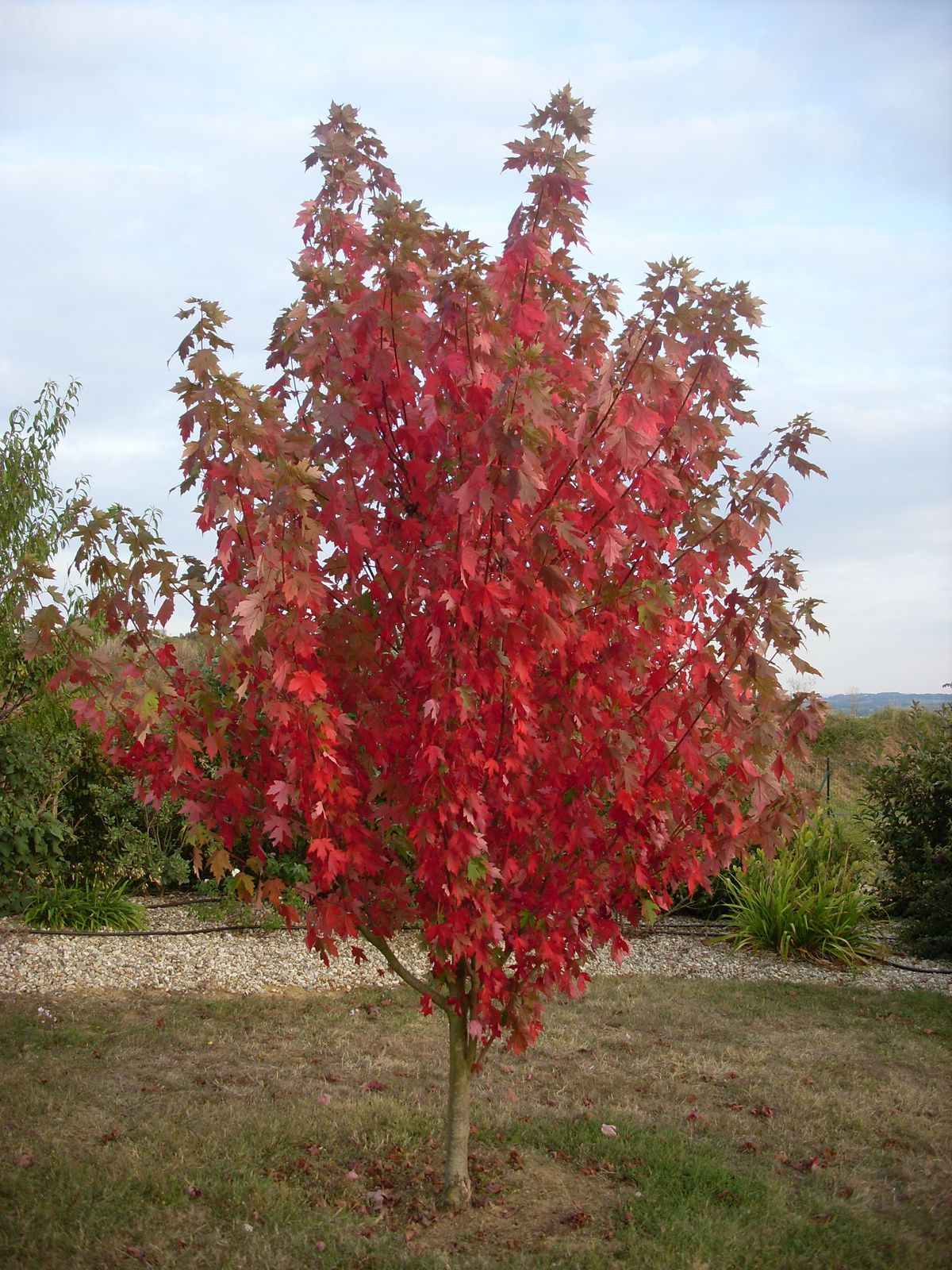 SURPRENANT ERABLE:  ACER x FREEMANII  Jeffersred « Autumn Blaze »