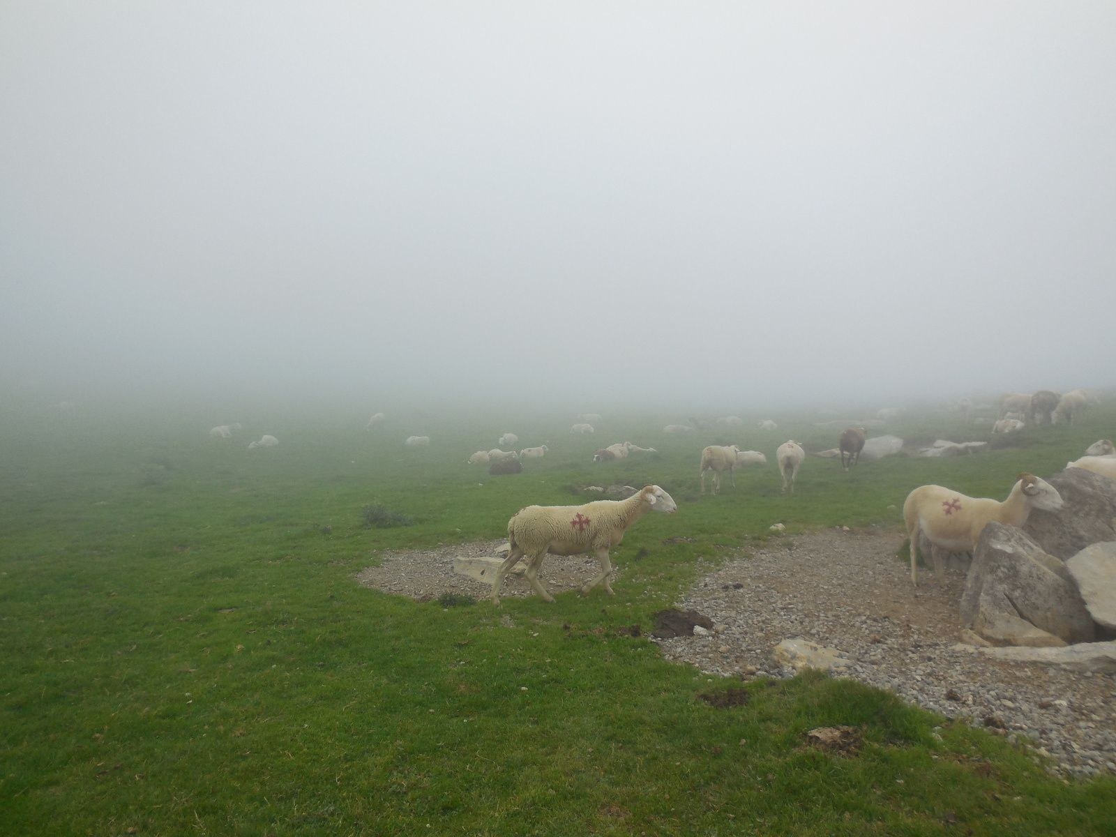 De nombreux troupeaux de bovins et ovins...