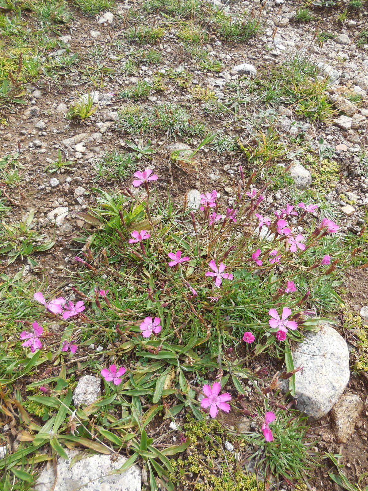 1ères fleurs que nous trouvons...