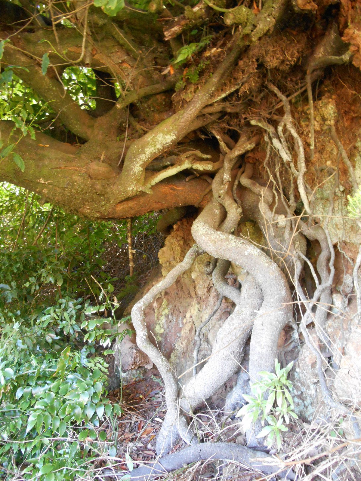 Racines d'arbre...