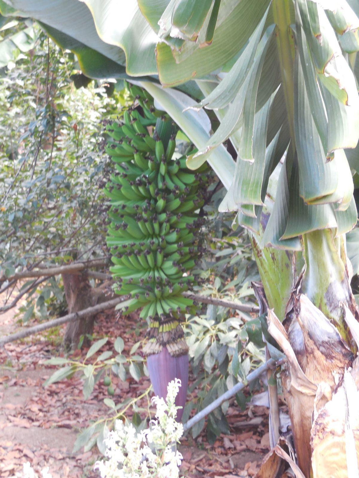 Régime de bananes avec sa fleur.