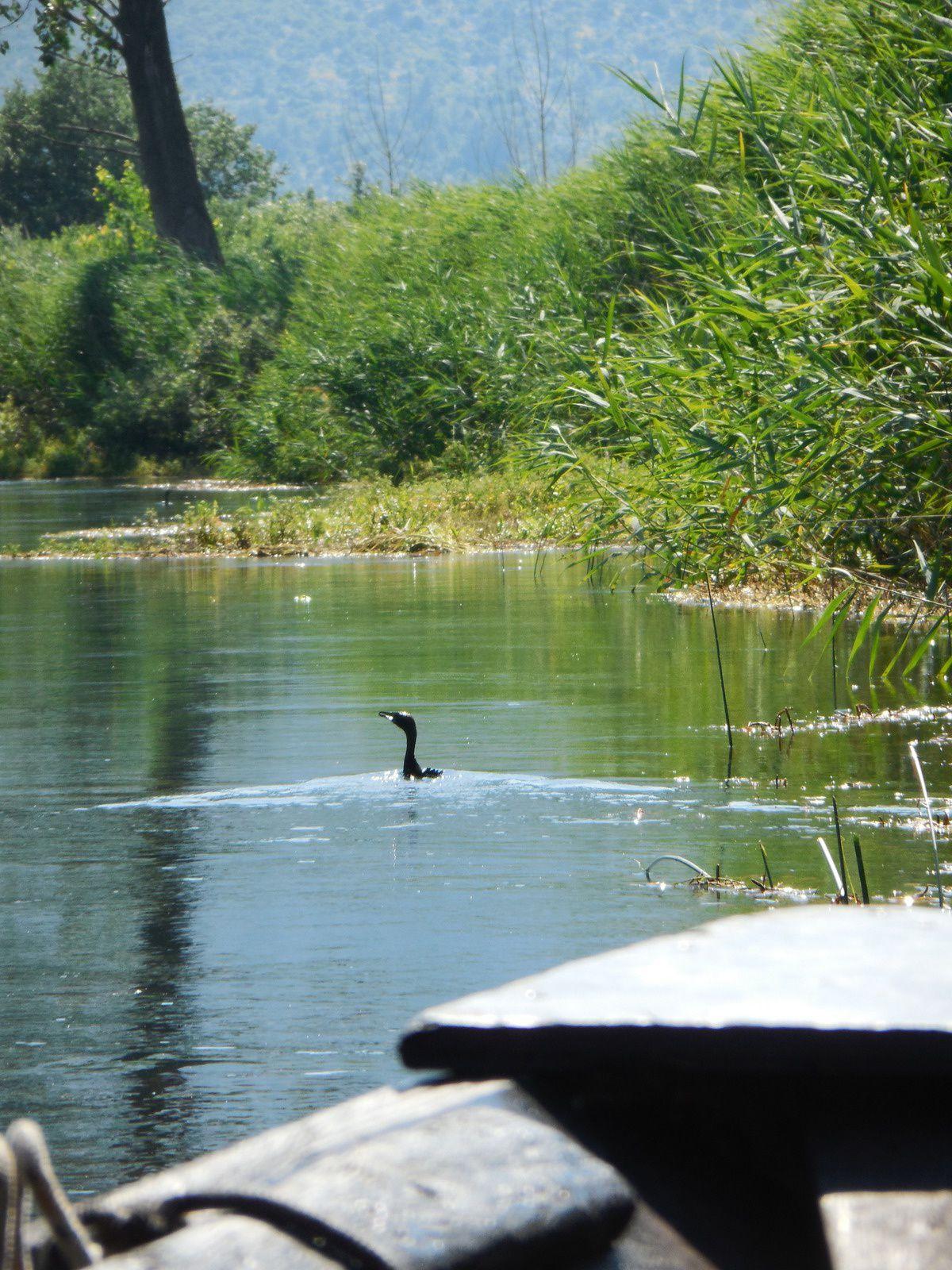 Beaucoup de cormorans,...