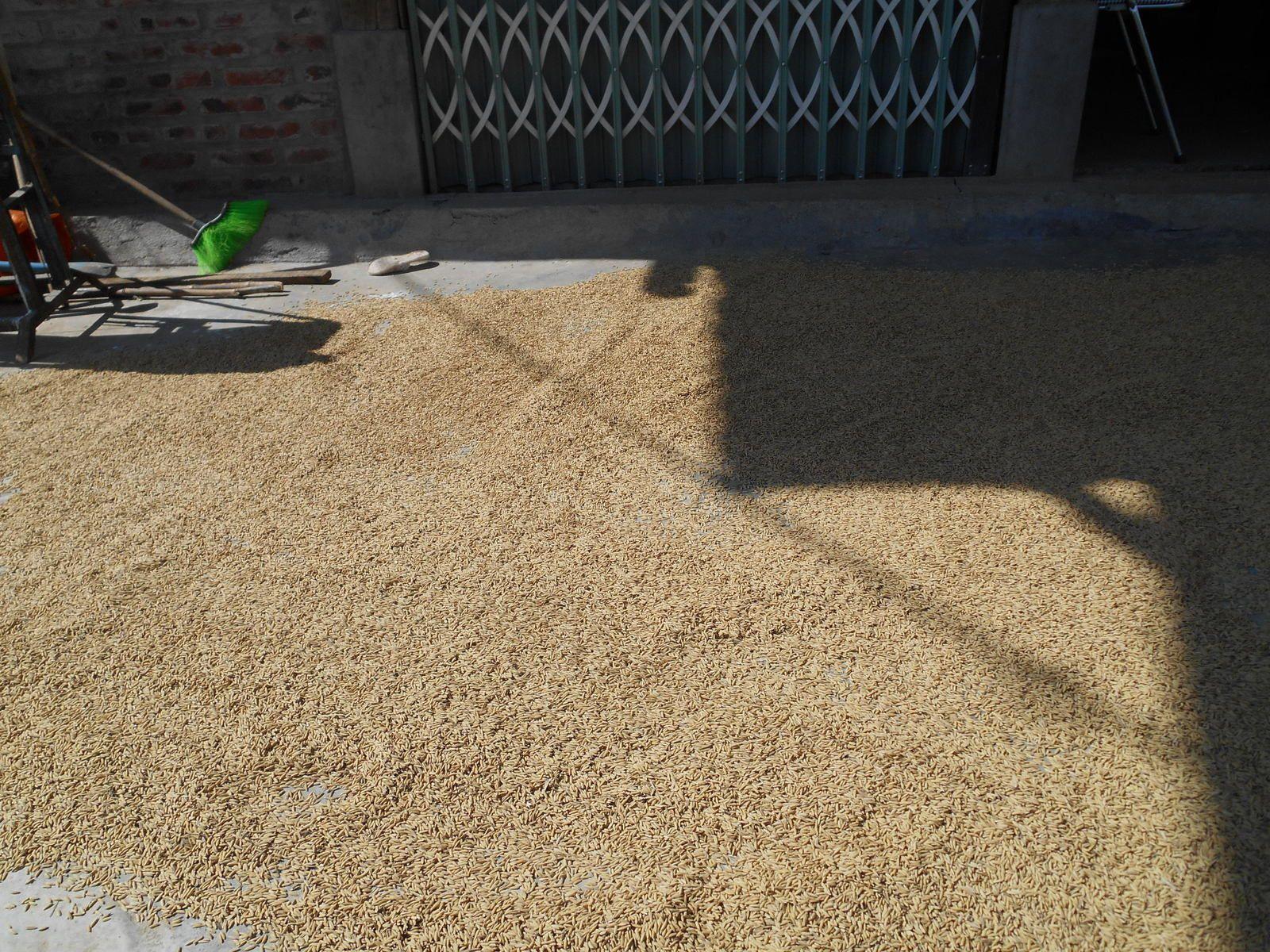 Séchage du riz à même le sol...