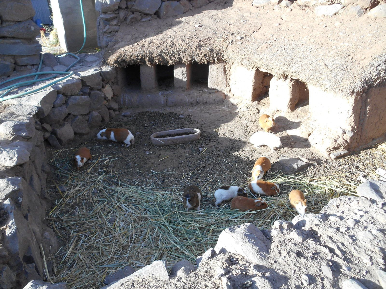 Elevage de cochons d'Inde qui seront cuisinés lors de fêtes, cérémonies religieuses...