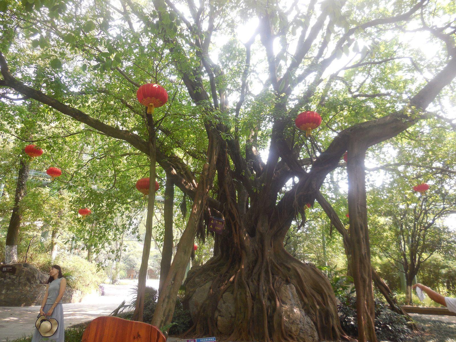 Arrivée au parc, à l'entrée de la grotte, ce magnifique Ficus...