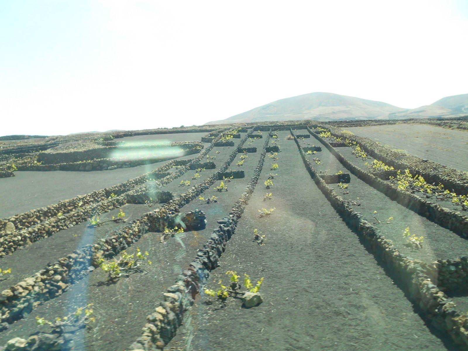 L'île de Lanzarote produit un excellent vin blanc!