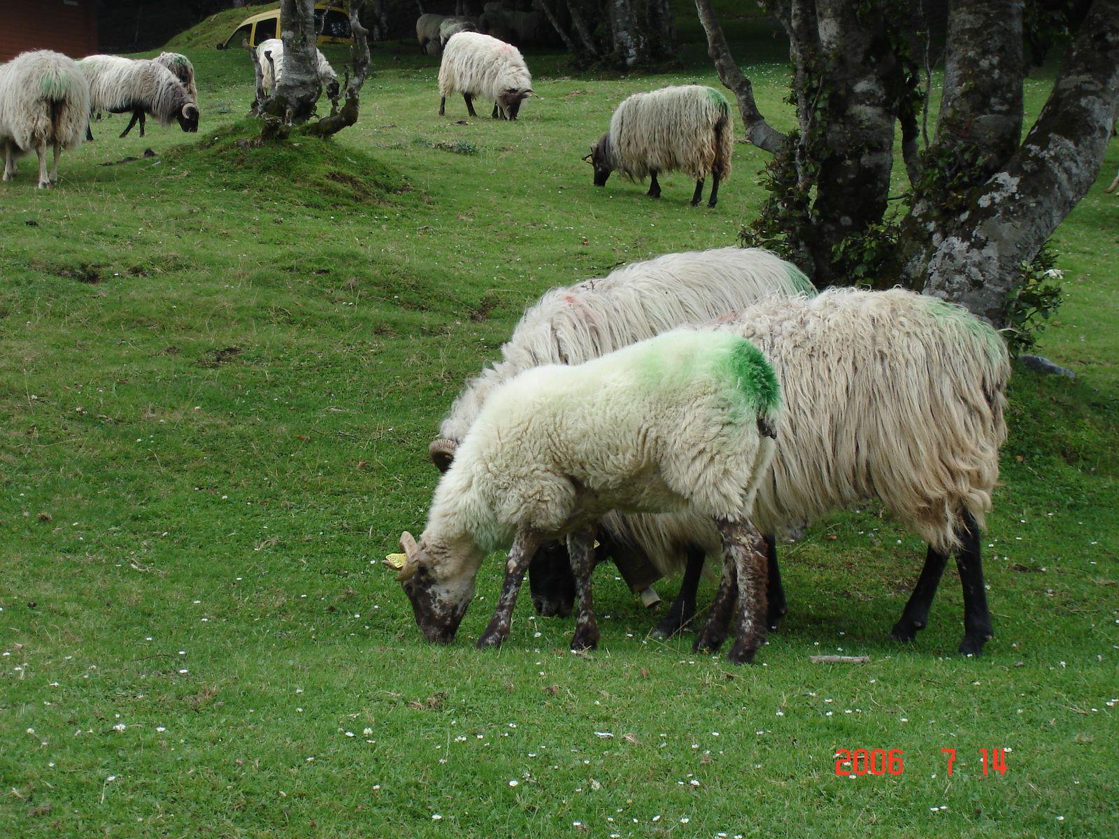 Basés pour le week-end aux châlets d'Iraty, nous avons le plaisir d'ytrouver les troupeaux de moutons.
