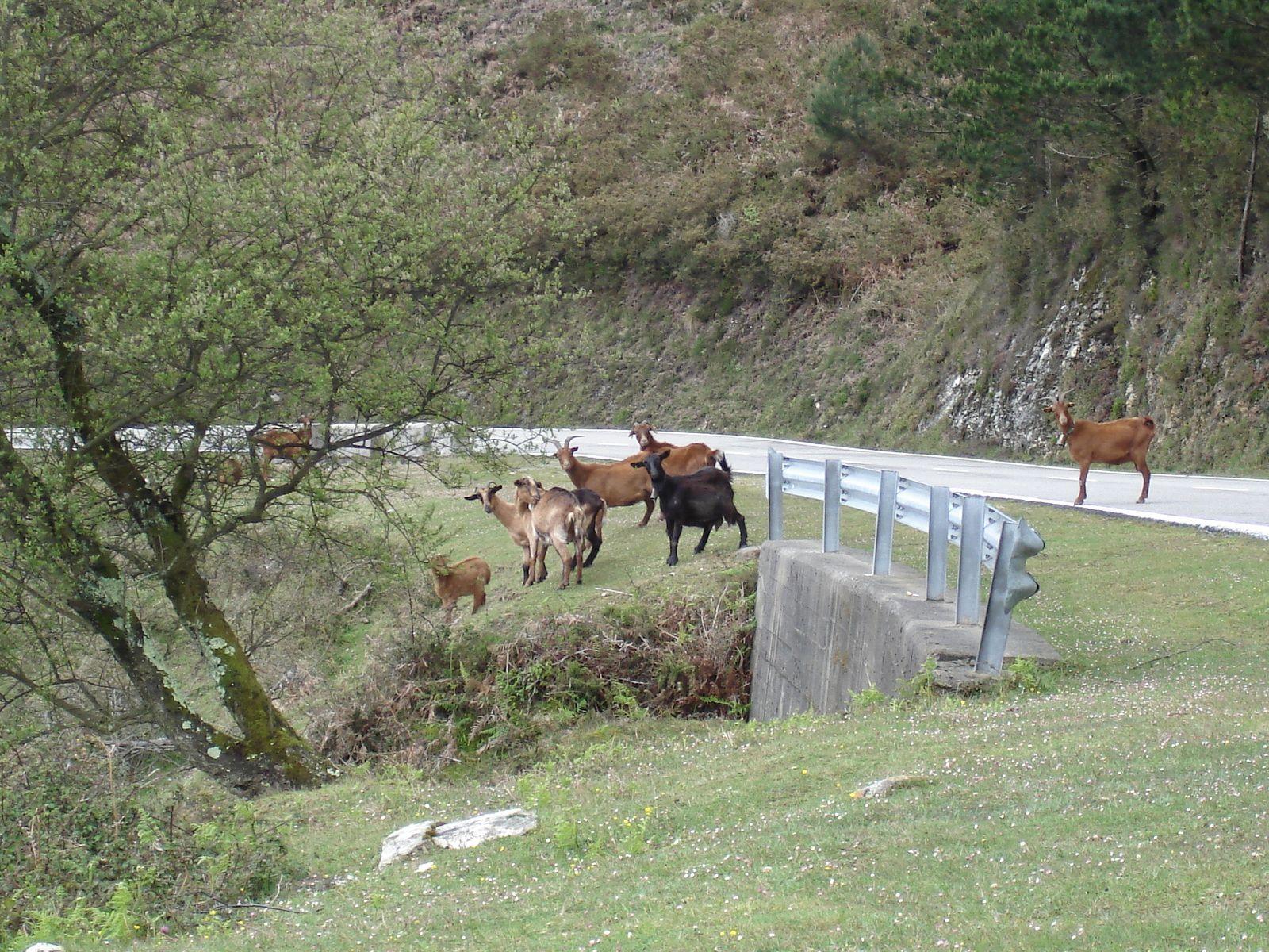 Et les premières chèvres, en semi-liberté dans cette région.( Nous aurons l'occasion d'en approcher toute la semaine ).