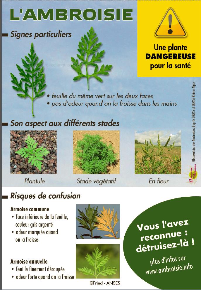 L'ambroisie, une plante nuisible à la santé