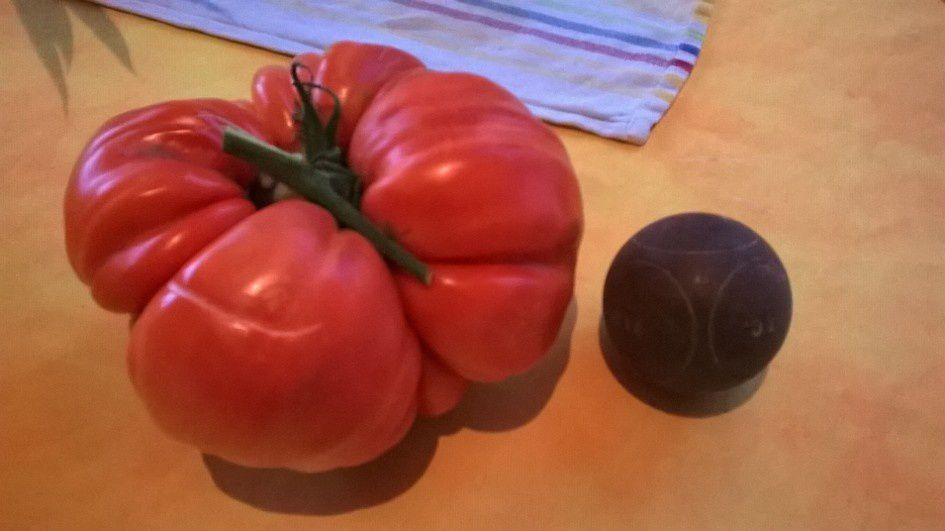 Tomate géantes...record battu !