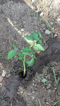 Planter en arrosant abondamment