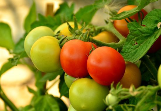 Un virus menace les tomates