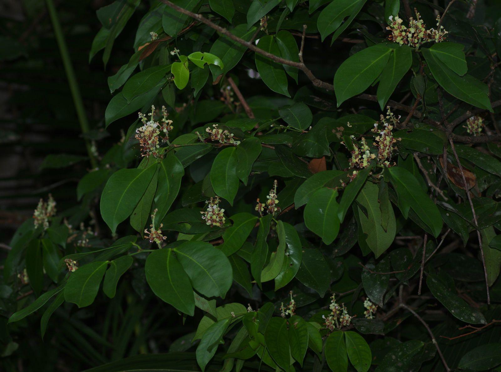 Macrolobium bifolium